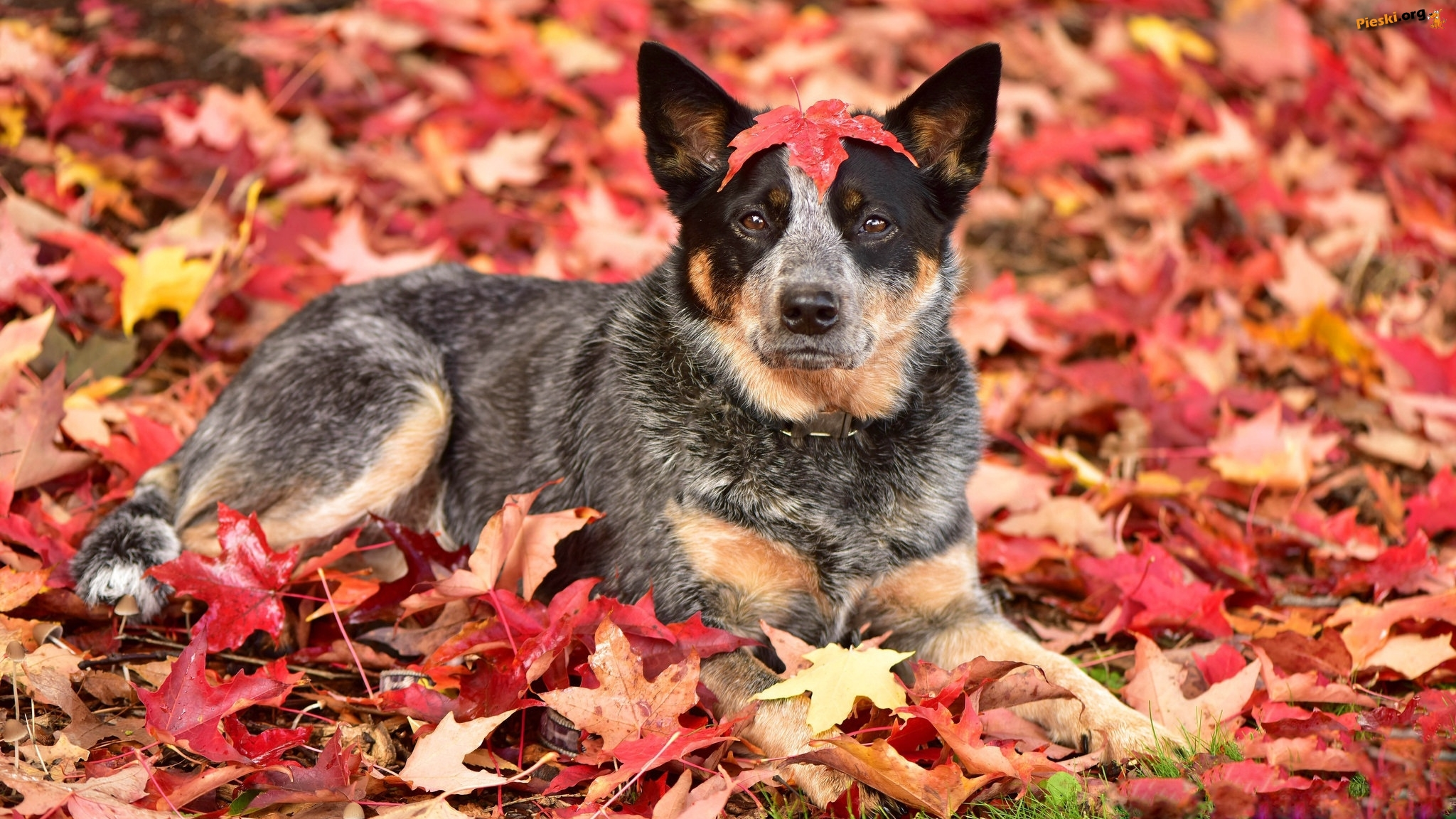 Pies, Australian cattle dog, Liście
